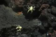 Krebse in Jameos del Agua