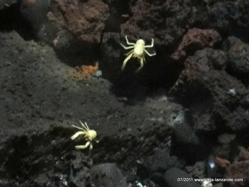 Krebse im Jameos del Agua